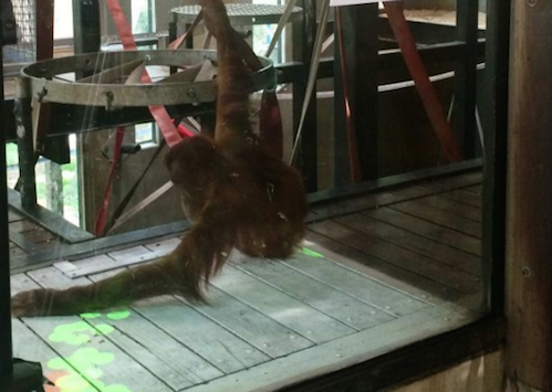 Researchers Are Teaching Orangutans to Make Music Via Video Games, Because Science