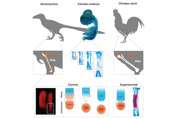 Scientists in Chile Just Turned a Chicken Into a Half-Dinosaur. Welcome to 2016.