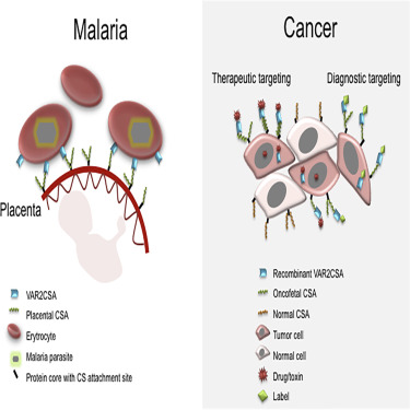 Scientists Find Malaria May Hold the Key to Fighting Cancer