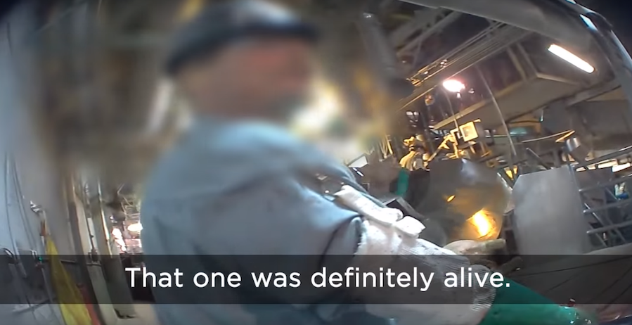 Undercover Slaughterhouse Footage Shows Horrific Animal Abuse