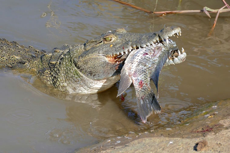 Man-Eating Nile Crocodiles Are Now in Florida — Because ...