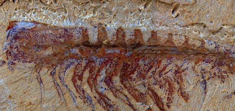 Fossilized Brain Tissue Found in China: Here's What 520-Million-Year-Old Brain Looks Like